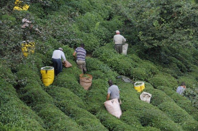 Çay hasadı için 'Gurbetten Sılaya' çağrısı