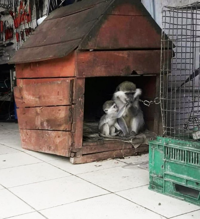 Evinde maymun besleyen vatandaşa ceza