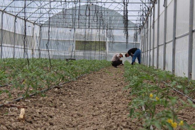 """Yerli """"Maniye"""" domatesinin ekim dönemi başladı"""