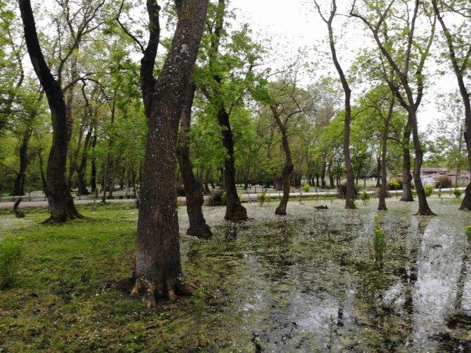 Galeriç Subasar Ormanı'nda 'su papatyası' güzelliği