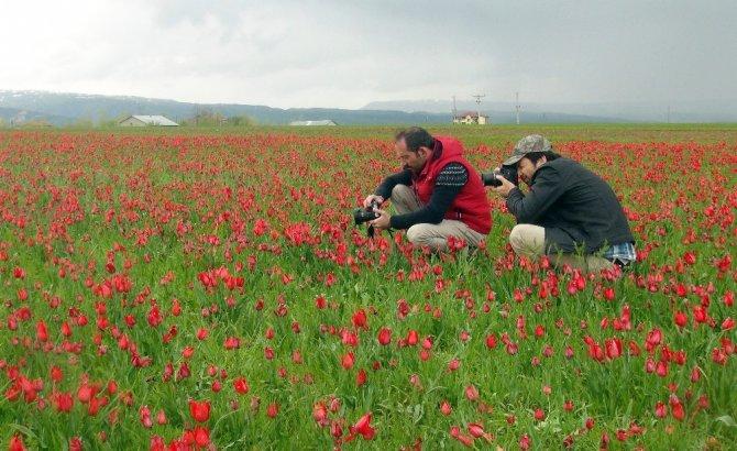 Muş Ovası'nı kırmızıya bürüyen laleler kartpostallık görüntüler oluşturuyor