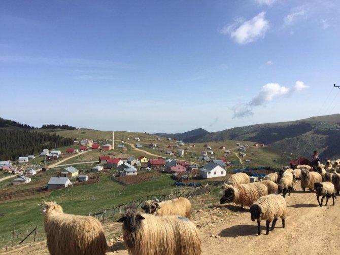 Giresunlu çobanların yayla yolculuğu başladı
