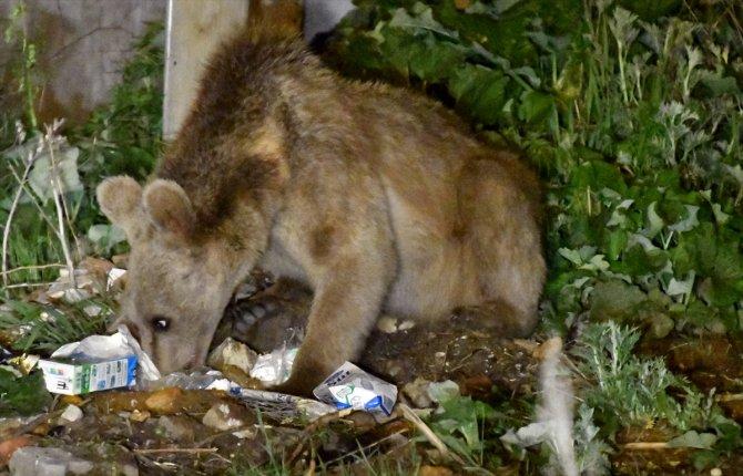 Acıkan boz ayı mahalleye inerek yiyecek aradı