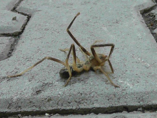 Konya'da etobur örümcek