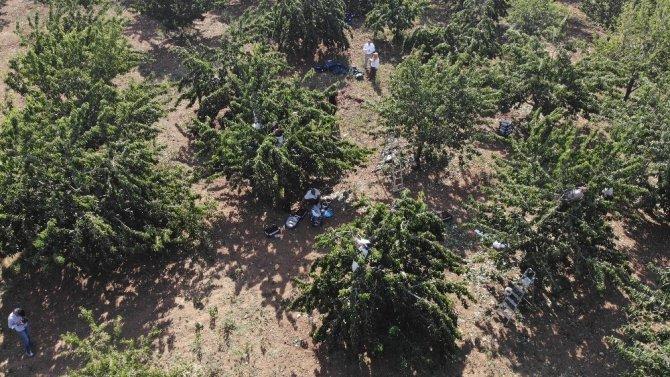 Kirazın diğer bölgelerde hasadı bitti, Harput'ta yeni başladı