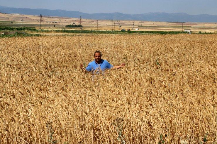Hasadını yaptığı 7 bin yıllık buğday tohumunu, 61 ile dağıtarak çoğaltmak istiyor