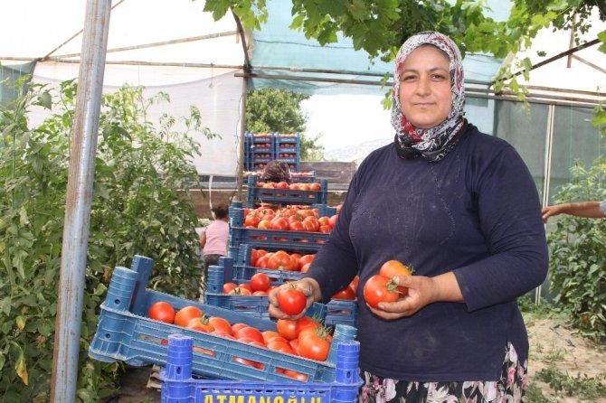 700 dönüm arazide üretilen domateste 15 bin ton rekolte bekleniyor
