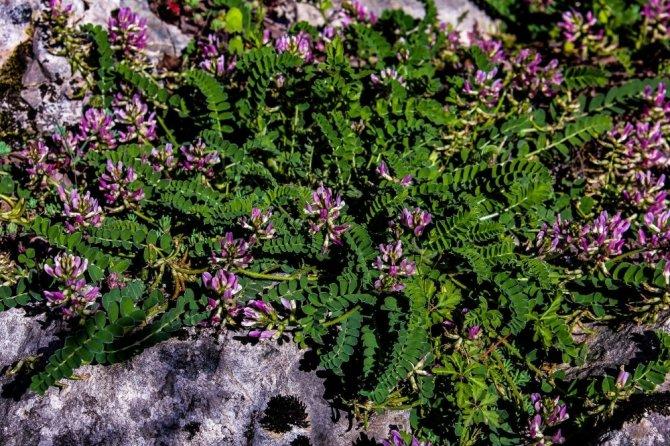 Dünyada sadece Bartın'da olan bitki türü keşfedildi