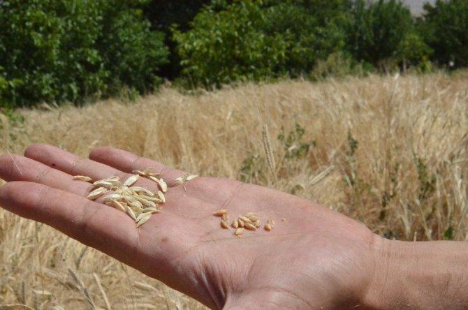 Ata mirası siyez buğdayına biçilmeden sipariş yağdı