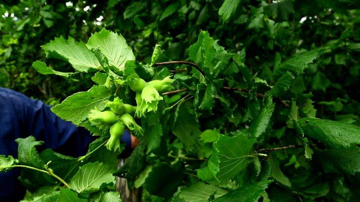 Bir koçanda 26 fındık oluşan ağaç görenleri şaşırtıyor