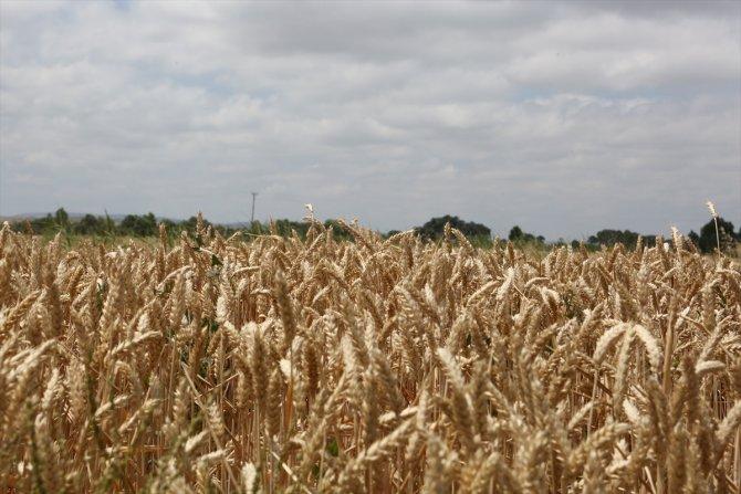 Yerli ve milli tohum 'Hüseyinbey' rekor kırdı