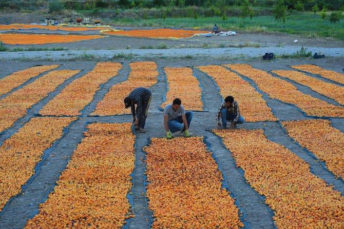 """""""Dünyanın kayısı başkenti""""nde hasat sürüyor"""
