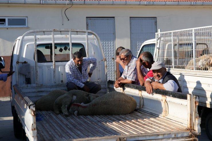Kurban pazarında burma boynuzlu keçiye talep arttı