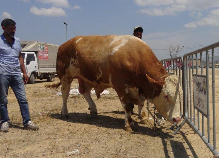1 ton 330 kiloluk boğa 'Paşa', 32 bin liraya satılık
