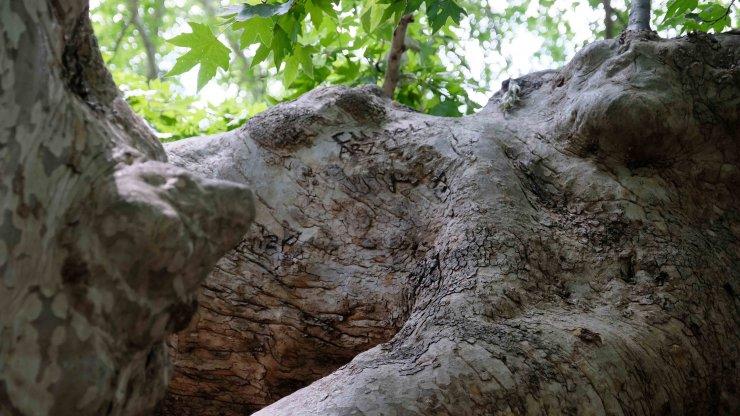 870 yıllık anıt çınar ağaçları yazı tahtasına döndü