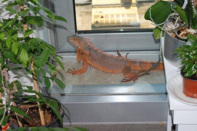 1 metre 12 santimetre boyunda iguana bulundu, koruma altına alındı