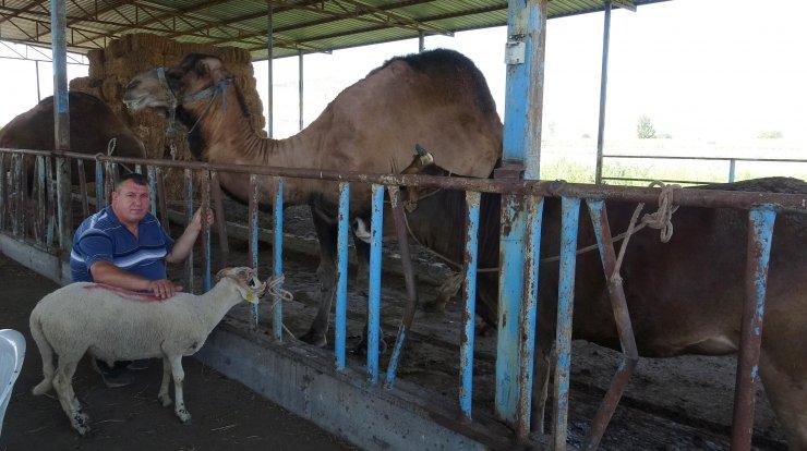 Aydın'da kurbanlık deve, sığır ve koçlar sahiplerini bekliyor