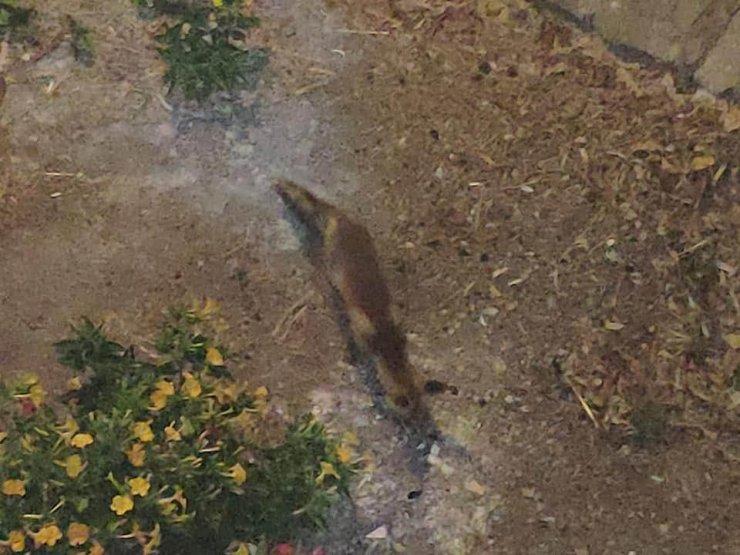 Bahçesine giren kızıl tilkiyi pastırma ve peynirle besledi