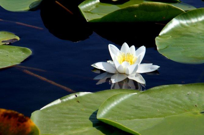 Eşsiz güzelliğe sahip nilüferler suda görsel şölen sunuyor