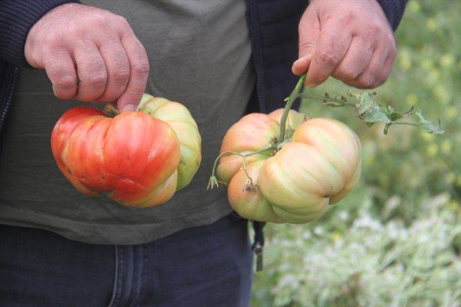 Konyalı çiftçi, hobi bahçesinde 1 kilograma ulaşan Osmanlı domatesi yetiştirdi