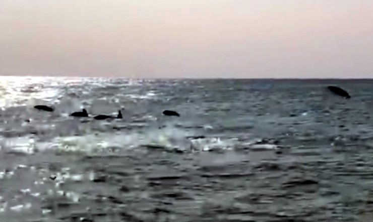 Kıyıda yüzen yunuslar ilgi odağı oldu