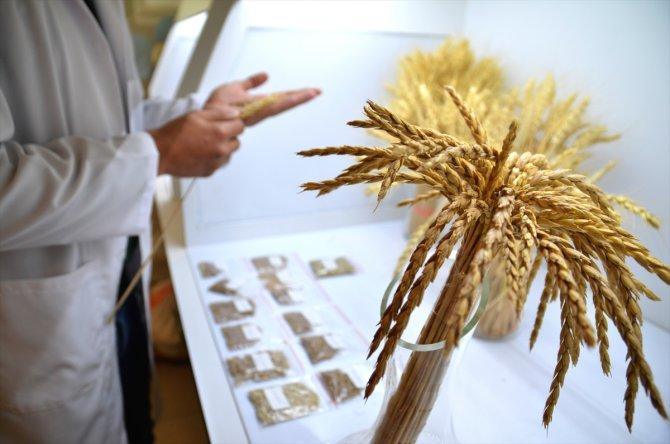 Ata tohumları tarımda dışa bağımlılığı bitirecek