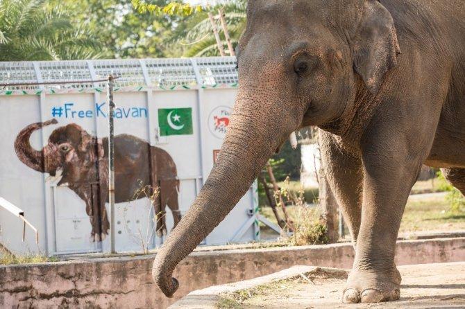 Dünyanın en yalnız fili Kamboçya'daki fil barınağına götürülüyor