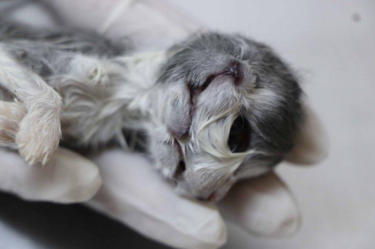 Çift başlı doğan kedi, bir saat yaşayabildi