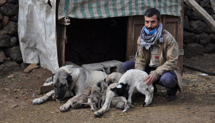 Kangal köpeği, kuzuya annelik yapıyor