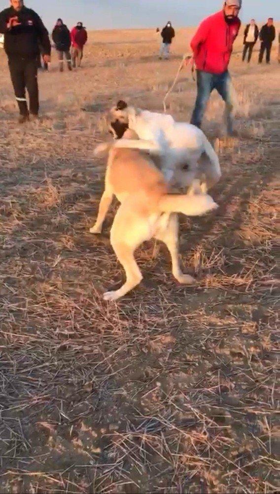 Köpekleri dövüş adı altında birbirine parçalattılar!