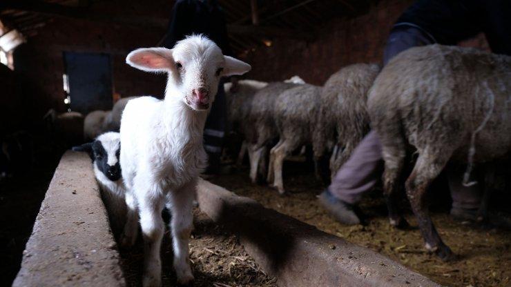 Ağıldan124 koyun hırsızlığıyla ilgili 9 şüpheli adliyede