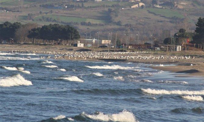 Sinop sahillerinde martı istilası
