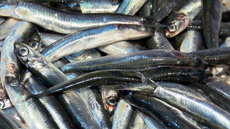 İstanbul Boğazı'nda av yasağı kalktı, ilk hamsiler balık haline geldi