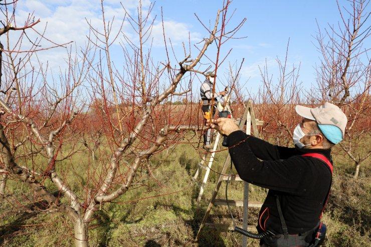 Yasaktan muaf çiftçiler, şeftali bahçelerinde budama işlemine başladı