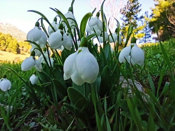 Toroslar'da baharın müjdecisi kardelenler çiçek açtı