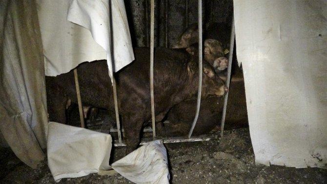 Büyükbaş hayvan yüklü tır devrildi, kurtarma çalışması başlatıldı