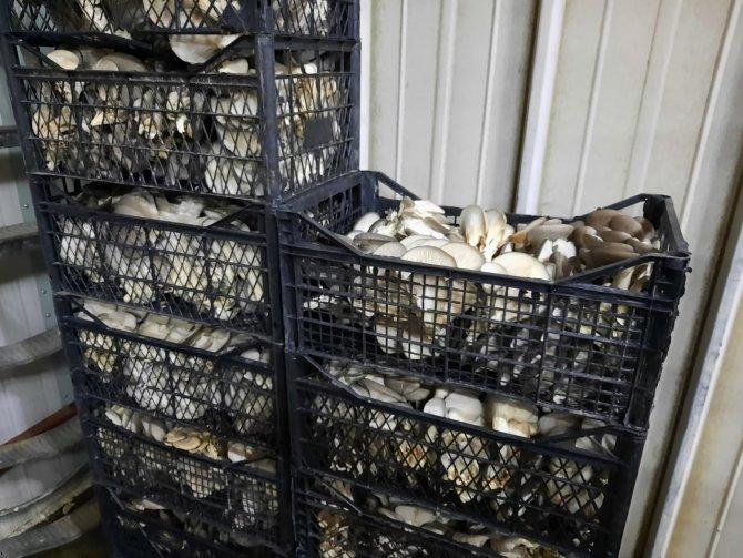İnternetten görerek başladığı mantar üretiminde talebe yetişemiyor