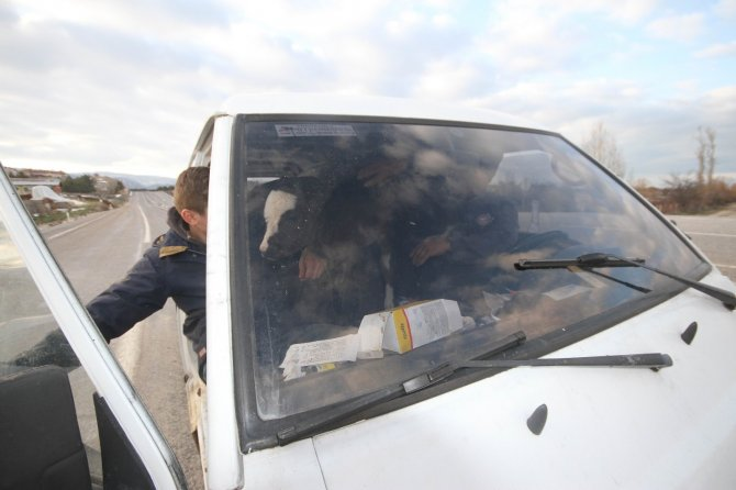 Buzağısını minibüsünün ön koltuğunda taşıdı