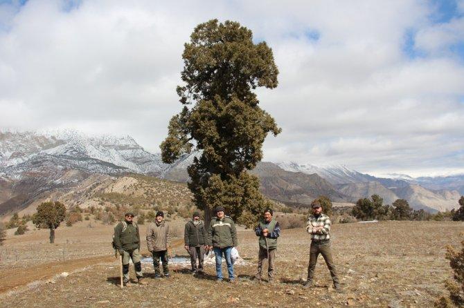 500 yıllık anıt ağaç ardıcın korunmaya alınması istendi