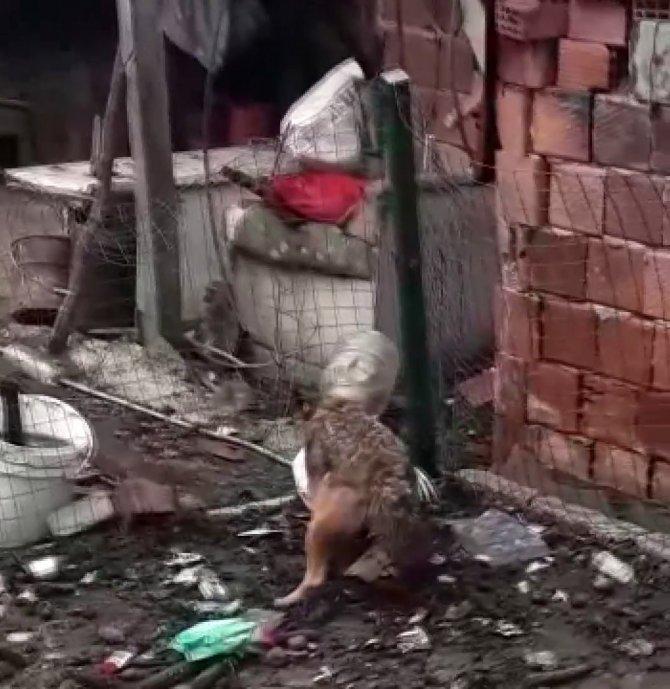 Yiyecek aramaya gelen tilkinin başına gelmeyen kalmadı