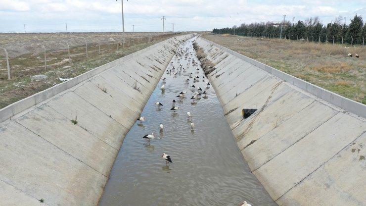 Göç yolundaki leyleklerin 'kanal' molası
