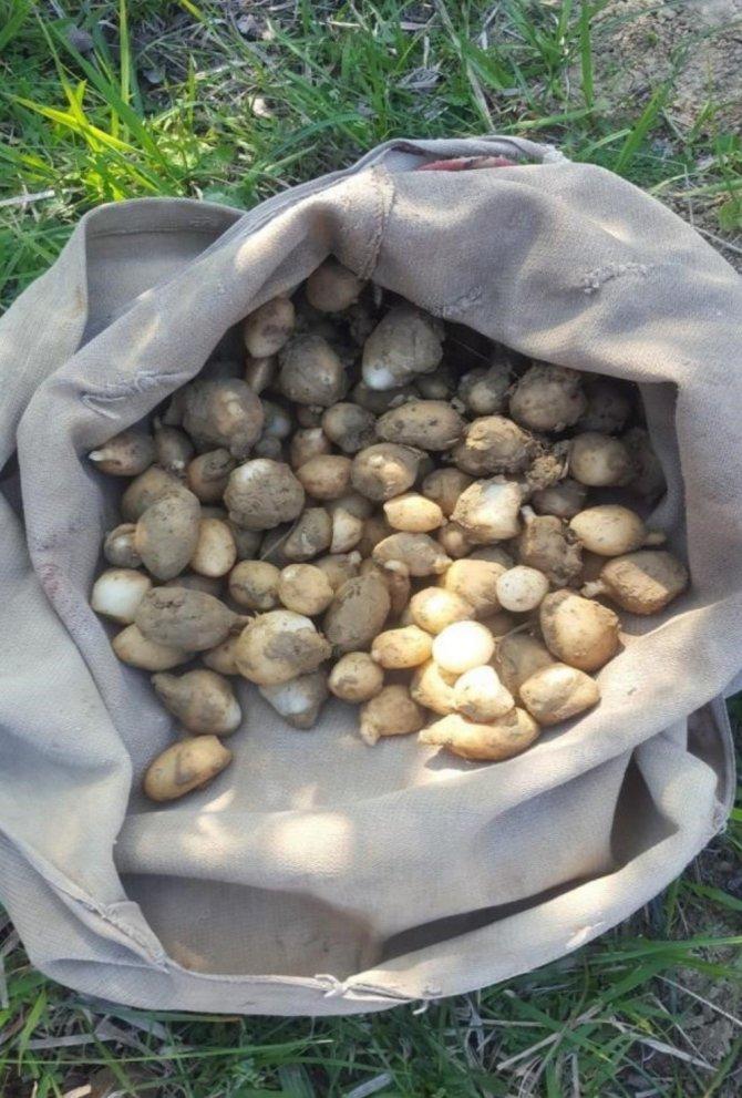 Yasaklı salep soğanı toplayan 3 kişiye 724 bin tl ceza kesildi
