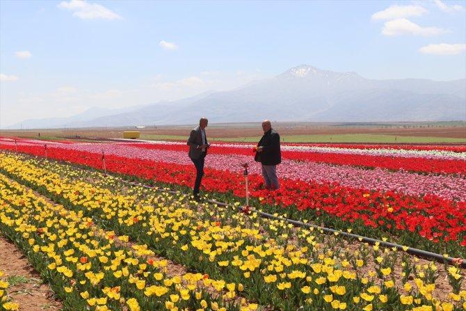 Karaman'da üretilen laleler 11 ülkede park ve bahçeleri süslüyor