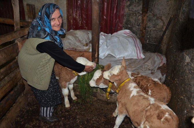 2 yaşındaki inek 'üçüz' doğurdu
