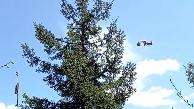 Ağaçtan ağaca uçan sincap cep telefonu kameralarına takıldı