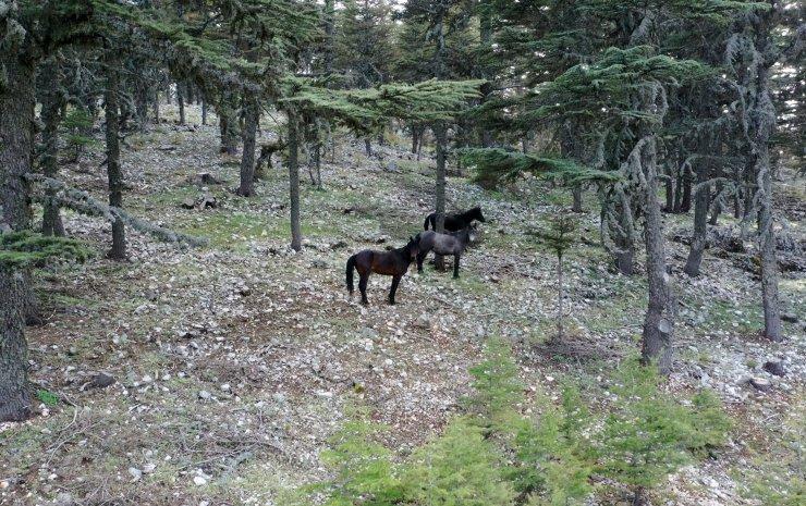 Torosların yılkı atları, sedir ormanlarında