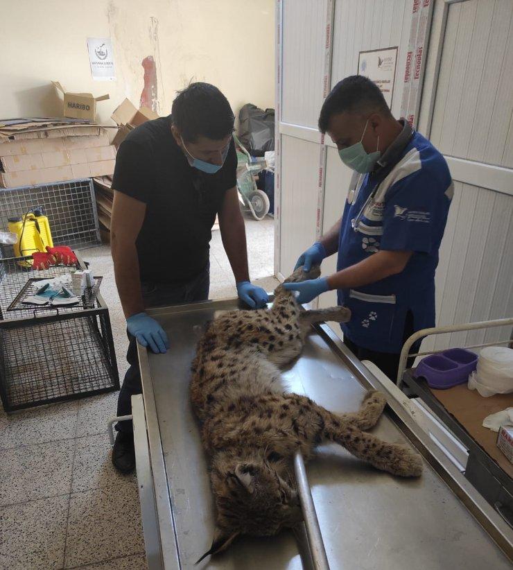 Hakkari'de yaralı halde bulunan ve ender görülen vaşak, tedaviye alındı