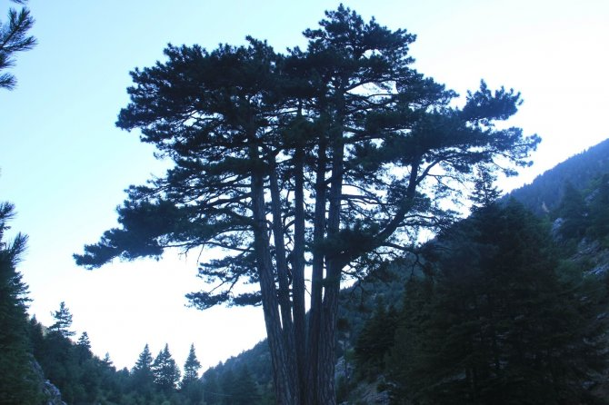 Konya'da beş kardeşler anıt ağacı görenlerin ilgisini çekiyor