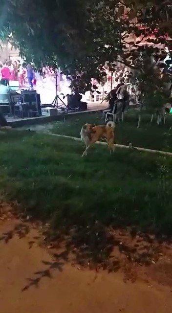 Düğün müziğine kapılan köpek dans etti