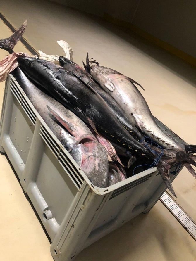 Yasak dönemde avlanan bin 600 kilo orkinos balığına el konuldu